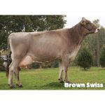 Brown Swiss breed