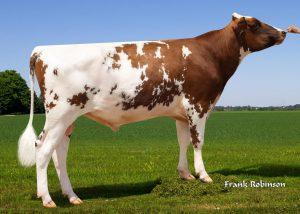 551AY00786Bull 300x214 - Ayrshire breed