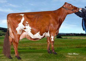 AYCAN000010957143 300x214 - Ayrshire breed
